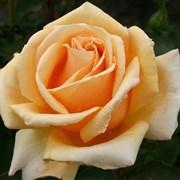 Роза чайно-гибридная Валенсия