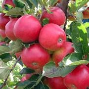 Яблоня Вишневое
